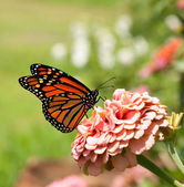 Monarch butterfly on pink Zinnia — Stock Photo