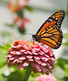 Monarch butterfly feeding on pink Zinnia — Stock Photo