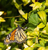 Colorful Monarch Butterfly laying eggs — Stock Photo