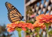 Vibrantly colored Monarch butterfly feeding — Stock Photo