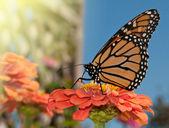 Monarch butterfly karmienia na pomarańczowy cynia — Zdjęcie stockowe