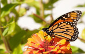 Migrating Monarch butterfly, danaus plexippus — Foto Stock