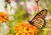 Beautiful Danaus plexippus, Monarch butterfly — Stok fotoğraf
