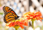 Migrating Monarch Butterfly refueling on an orange Zinnia — Stock Photo