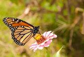 Beautiful Monarch butterfly feeding on a pink Zinnia — Stock Photo