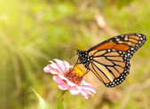 Monarch butterfly feeding on a pink Zinnia — Stock Photo