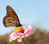 Beautiful Monarch butterfly feeding on a pink Zinnia against blue skies — Zdjęcie stockowe
