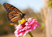 Migrating Monarch butterfly refueling on a bright pink Zinnia flower — Stock Photo