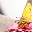 Beautiful Orange Sulphur butterfly perched on a pink Zinnia — Stock Photo