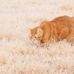 Beautiful orange tabby cat walking in frozen grass — Stock Photo