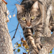Beautiful gray tabby cat climbing down tree — Stock Photo #6780714
