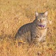 Royalty-Free Stock Photo: Gray tabby cat in fall grass and leaves