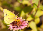 Beautiful bright yellow Orange Sulphur butterfly — Stock Photo