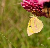 Papillon belle dogface sud d'alimentation à l'envers — Photo