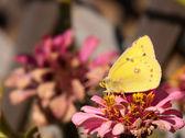 Orange Sulphur butterfly feeding on a faded fall Zinnia flower — Stock Photo
