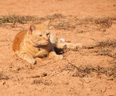 Beautiful orange tabby cat in sunshine against red dirt — Stock Photo