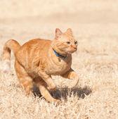 Orange tabby cat running full speed — Stock Photo
