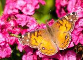 Amerikanska målade skönhet fjäril — Stockfoto