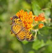 Pearl crescent motýl krmení na butterfly weed — Stock fotografie