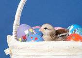 Colorful Easter chick resting in the middle of hand painted easter eggs — Stock Photo