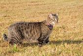 Beautiful gray tabby cat — Stock Photo