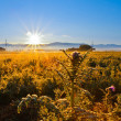 Weeds and Sunrise — Stock Photo