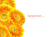 цветок гербера — Стоковое фото