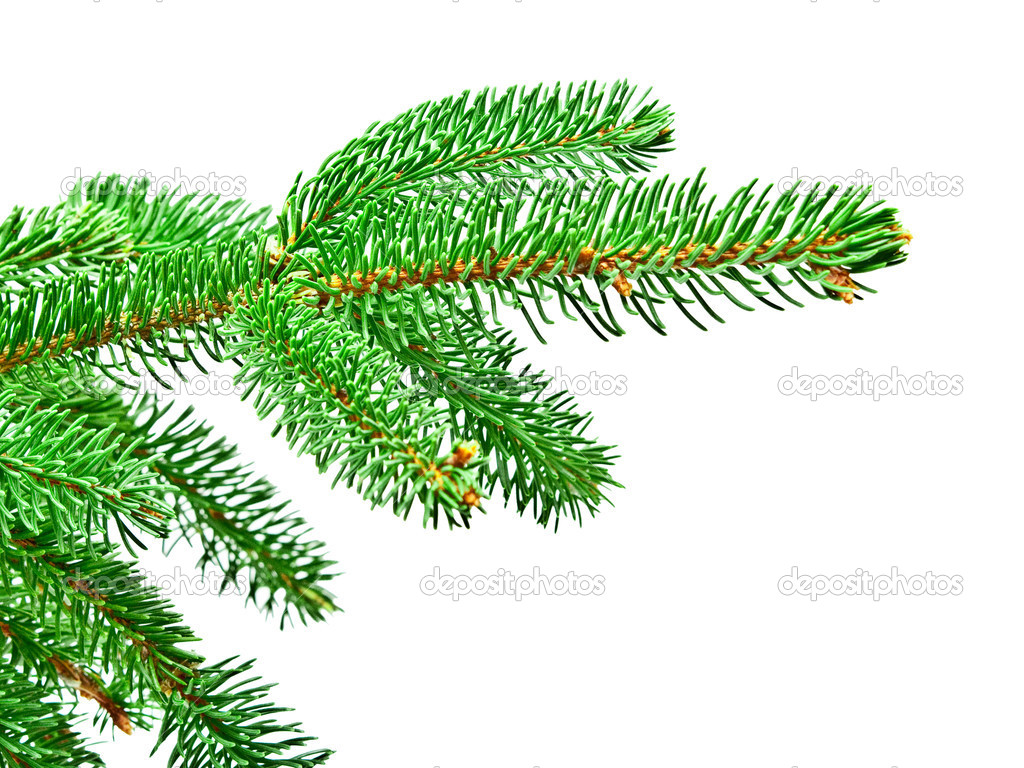 Branch of Christmas tree isolated on white background — Stock Photo #7359518