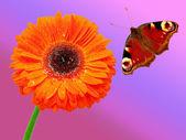 Closeup of daisy-gerbera — Stock Photo