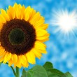 Sunflower against the blue sky — Stock Photo #7866751