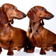 Two brown short haired Dachshund Dogs looking one sight isolated — Foto de Stock