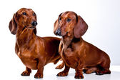 Two short haired Dachshund Dogs isolated over white background — Stock Photo