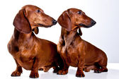 Two brown short haired Dachshund Dogs looking one sight isolated — Stockfoto