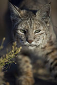 Wild bobcat stalking its prey. — Stock Photo