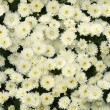 Seamless white chrysanthemums — Stock Photo