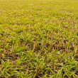 Grass field close up — Foto de Stock