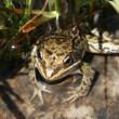 Endemic frog — Stock Photo