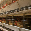 Stockfoto: Poultry farm