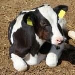 Cow farm — Stock Photo #7174760