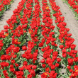 Red tulips - Foto Stock
