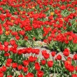 Red tulips - Photo
