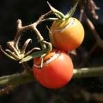 Tomato — Stock Photo #7613836