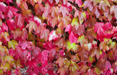 Colorful red ivy leaves in autumn — Stock Photo