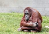 Bornean orangutan — Stock Photo