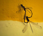 Two dragonfly — Stock Photo