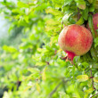 Stock Photo: Ripe pomegranate fruit on branch in an orchard