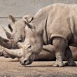 Three rhinos at Knowsley Safari Park, UK — Stock Photo