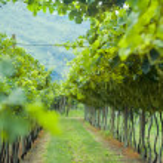 Summer vineyard in Northern Italy — Stock Photo