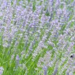 Lavender flower field in summer — Stock Photo