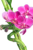 Beautiful purple orchid flowers and bamboo isolated on white — Stock Photo
